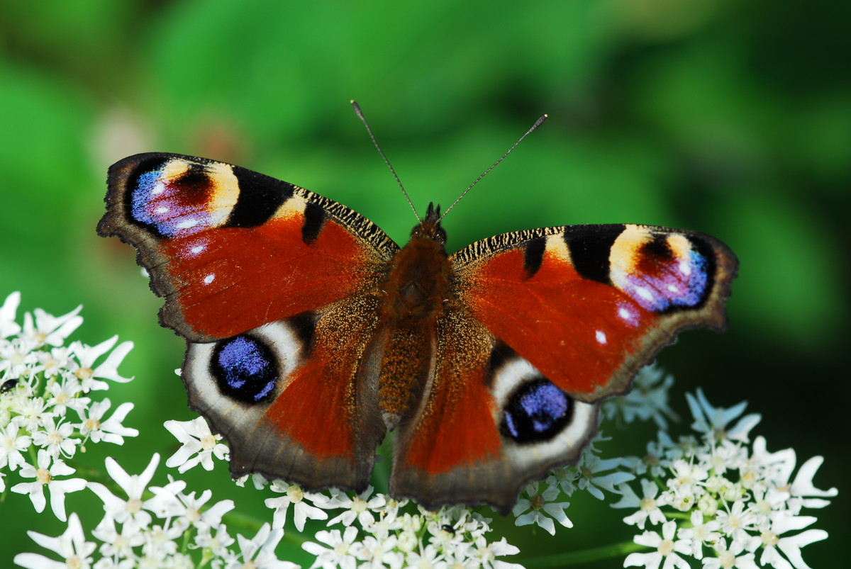 A peacock butterfly rests on a flower.