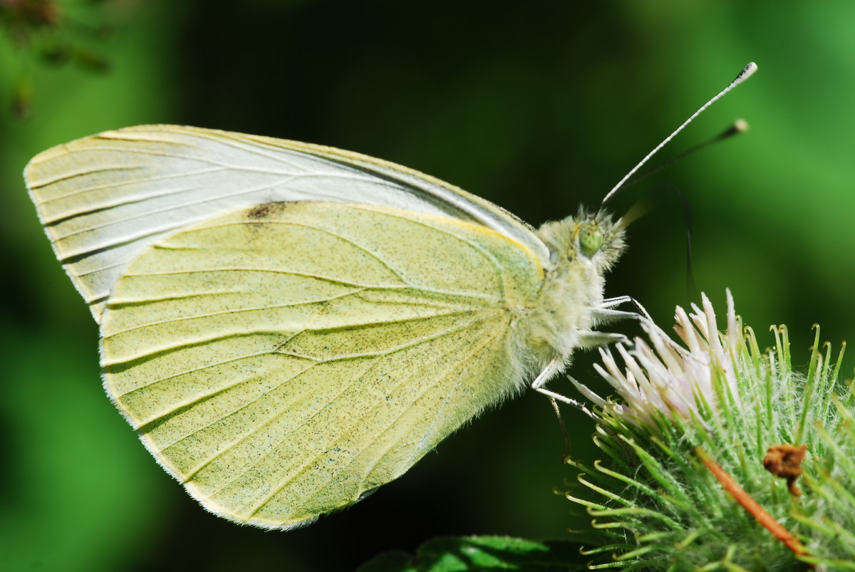 Green veined white butterfly clearly showing it's proboscis as it sups nectar