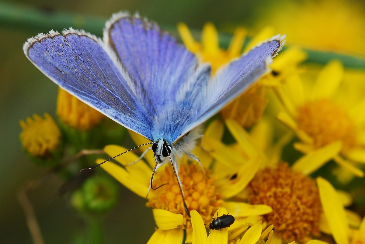 The The Common Blue (Polyommatus icarus) Butterfly may only live as long as two weeks