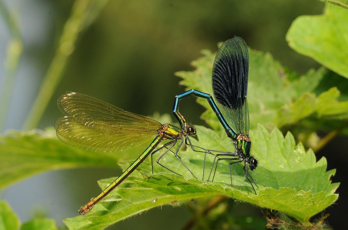 Mating Banded Demoiselle (Calopteryx splendens)