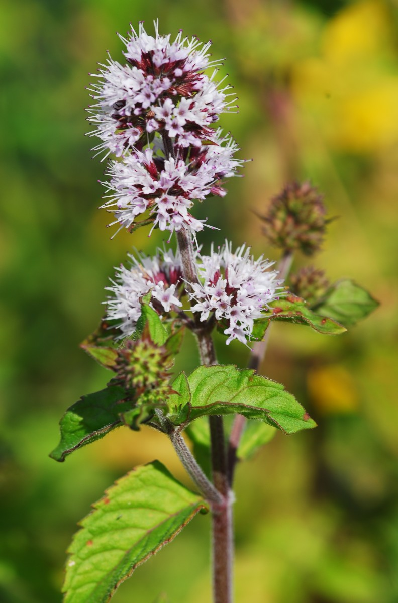 The flower of Wild Water Mint