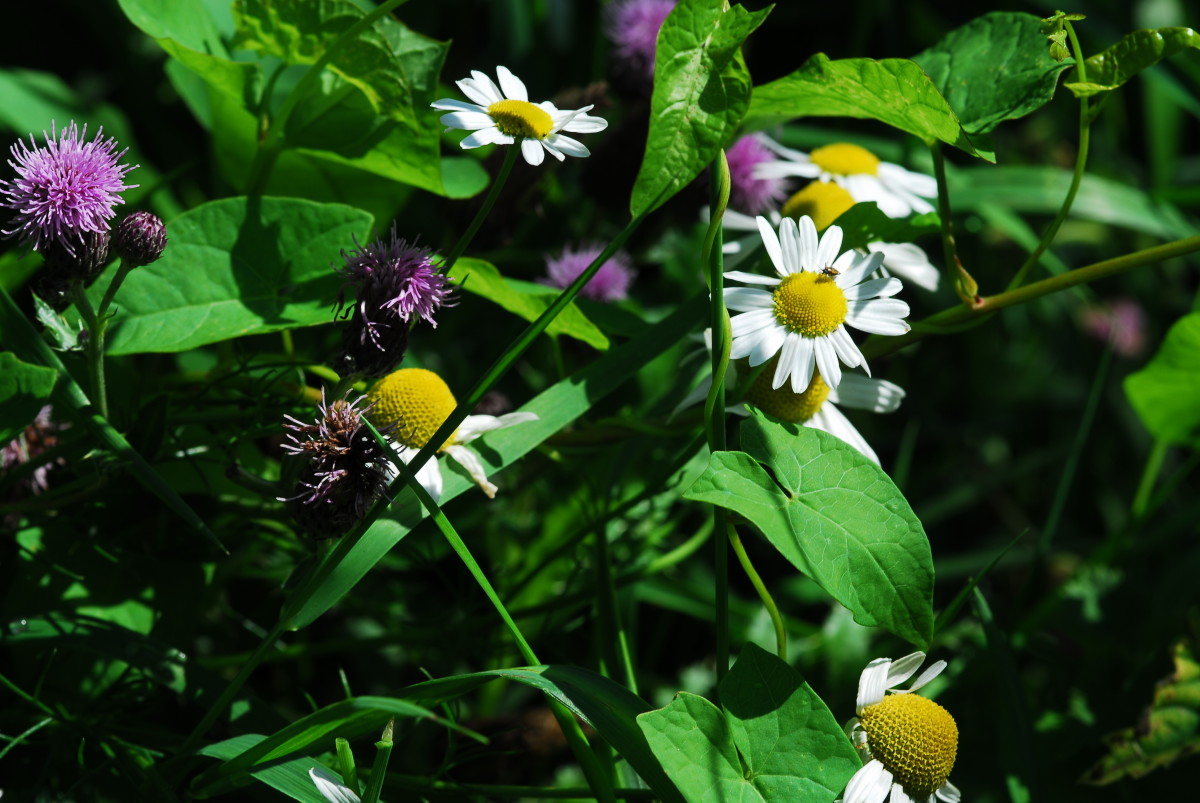 Wild flowers for the butterflies