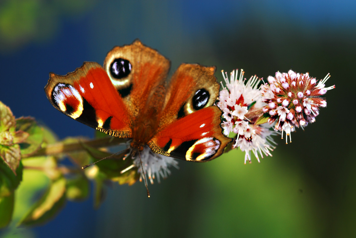 The European Peacock (Inachis io) Butterfly sucks the nectar of a wild water mint flower