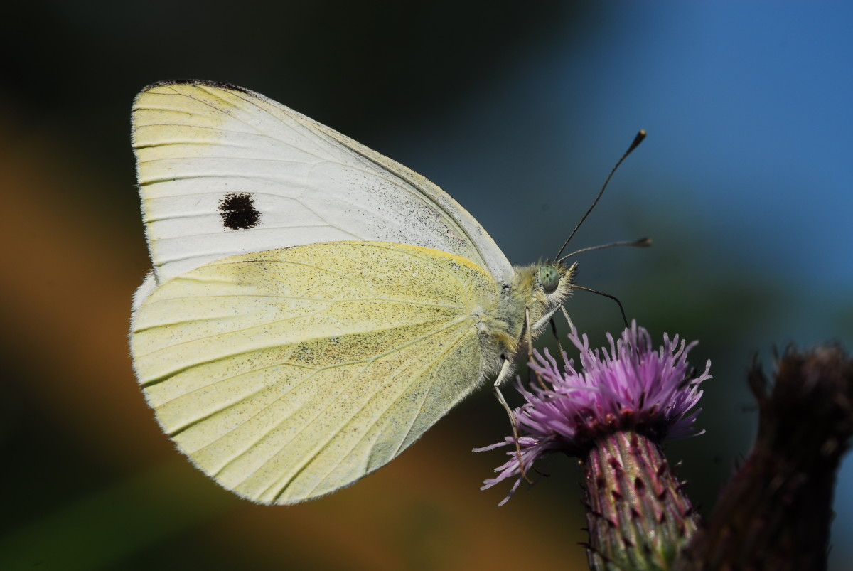 Large White Butterly Feasting on Nectar