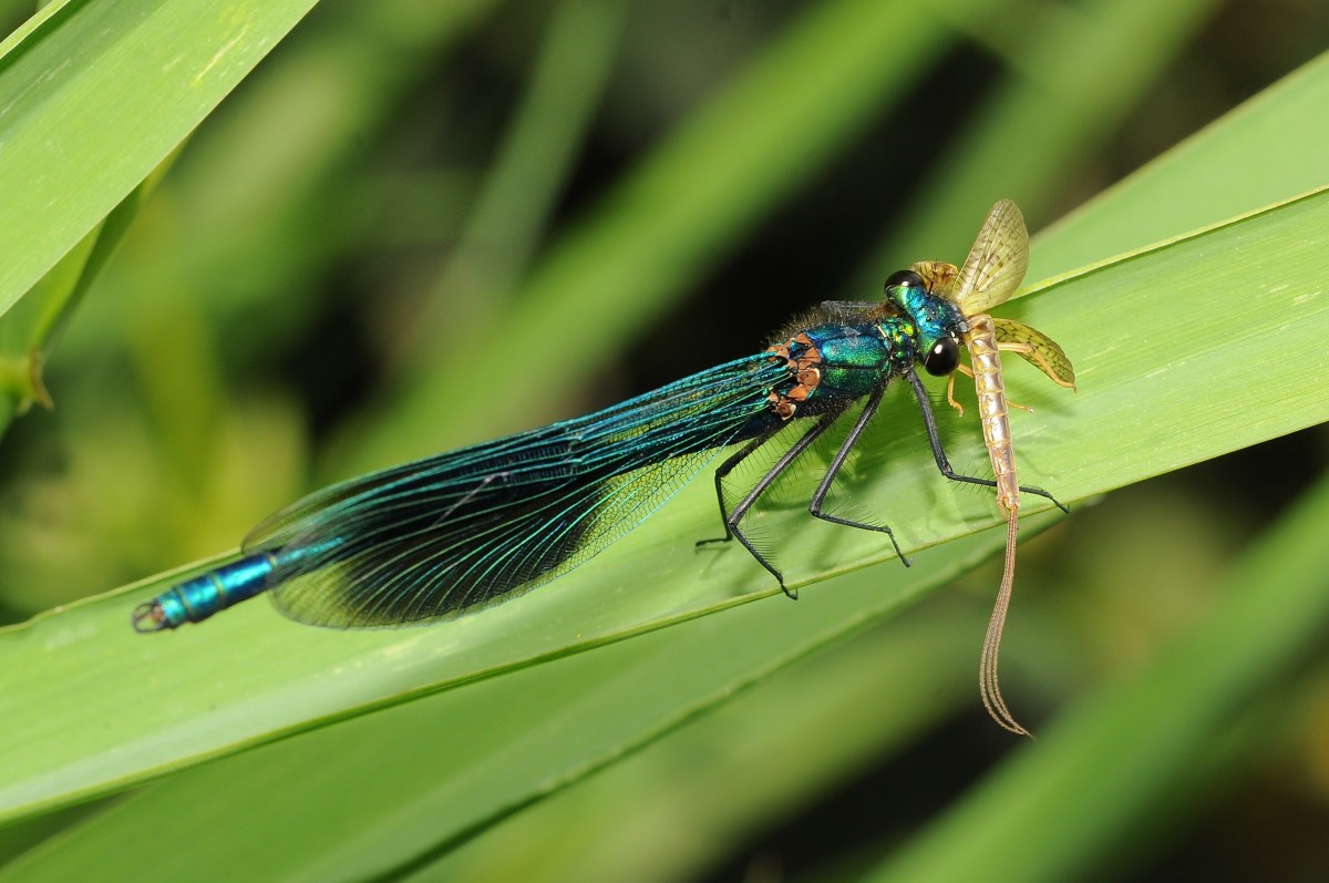 Banded Demoiselle (Calopteryx splendens) with a May Fly held between his jaws.