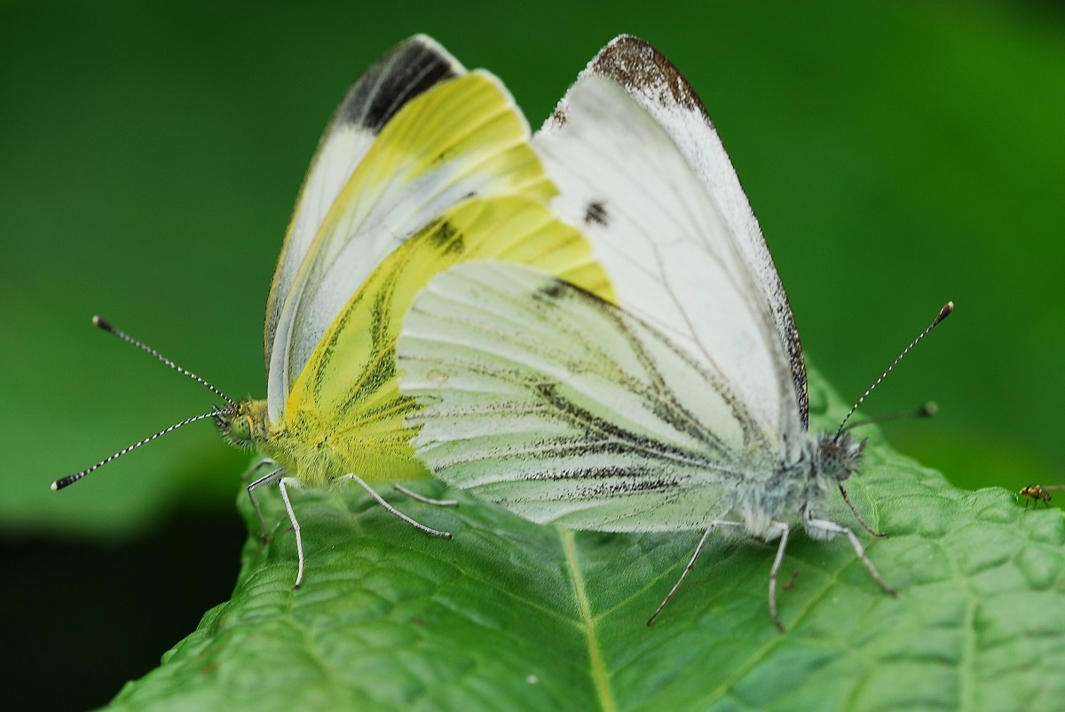 Two Green Veined Whites Mating