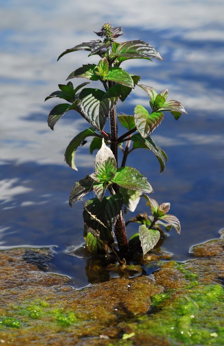 Wild Water Mint