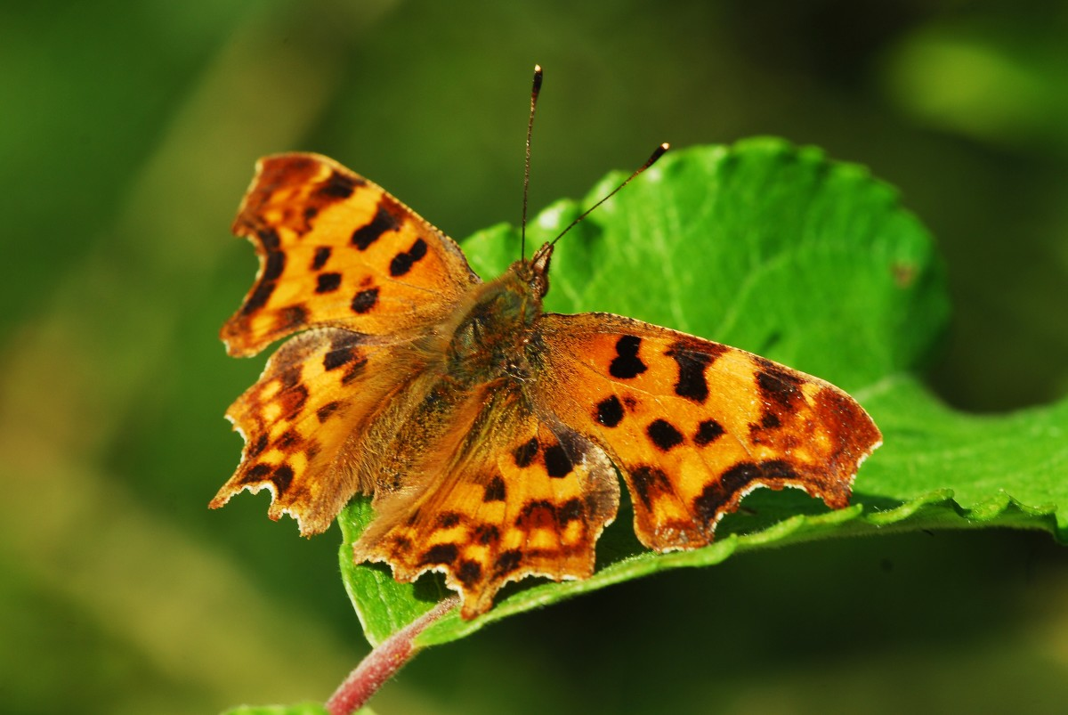 Comma seeks shade in the lower branches of a tree