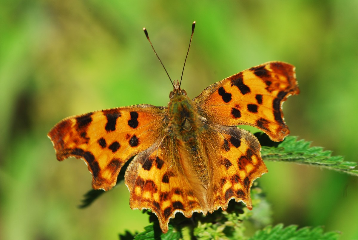 An Eastern Comma Butterfly Basking in the Sunshine