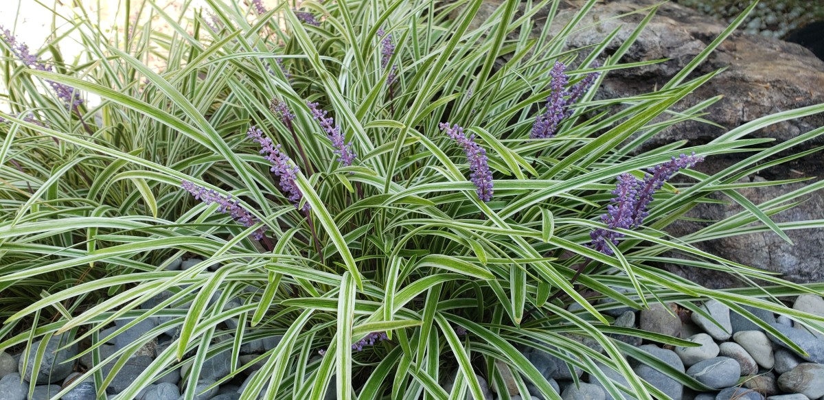 How to Grow Liriope for Fall Color