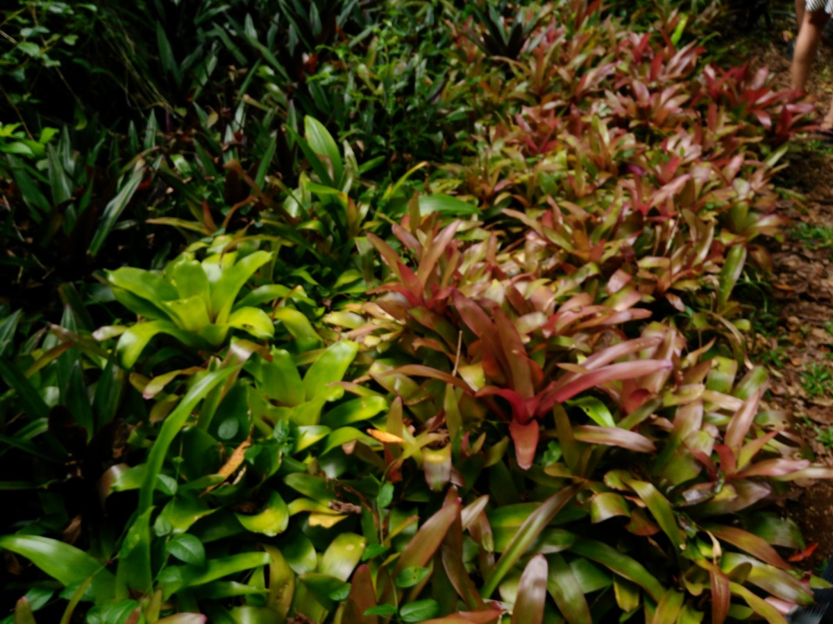 Bromeliads everywhere