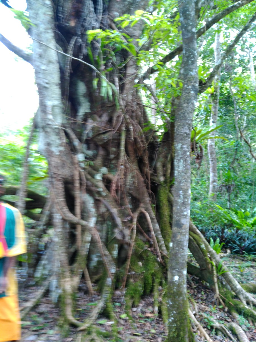 Strangler Fig or Banyan Tree