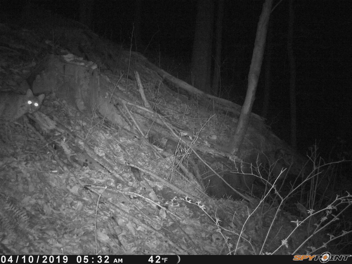 Bobcat at night