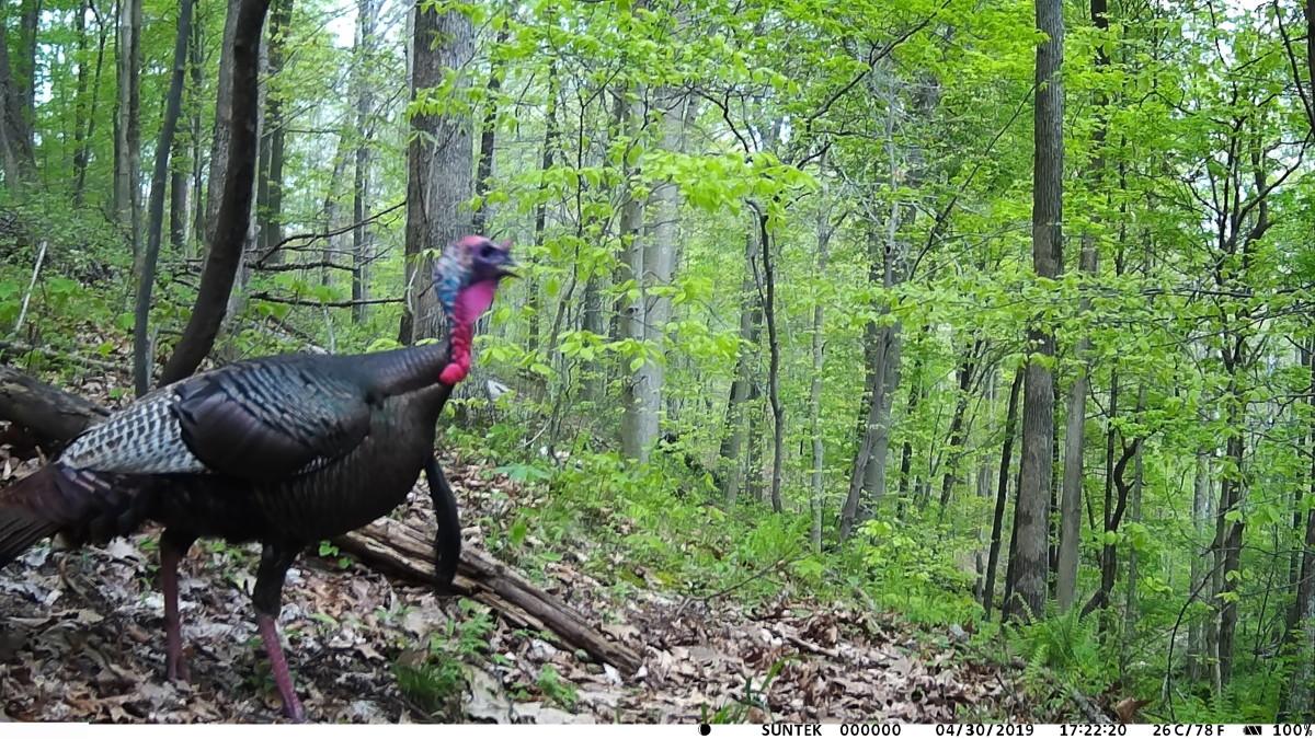 Wild Turkey, taken with the Henf HC801A Trail Camera.
