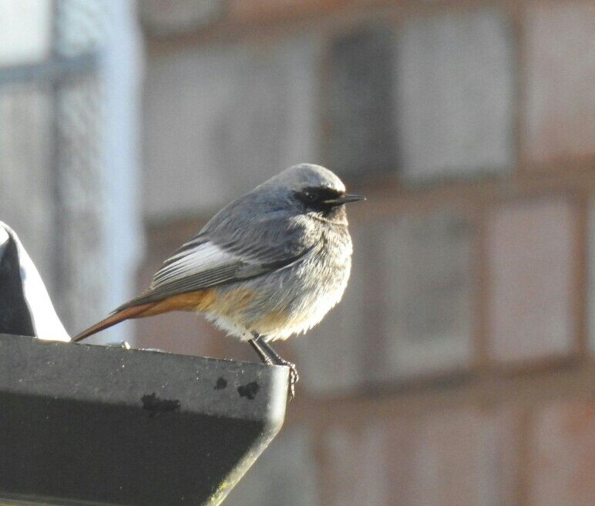 Birding Trip Report: Black Redstart at Stirchley, West Midlands Wednesday 30th January 2019