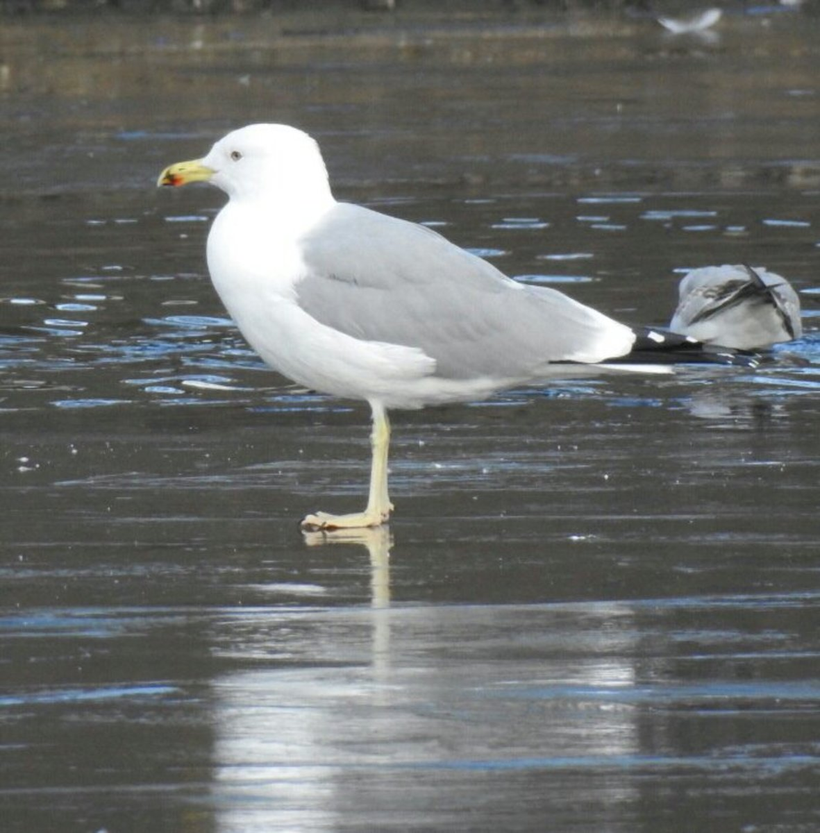 And here's the infamous Gull that has left even the foremost experts scratching their heads.