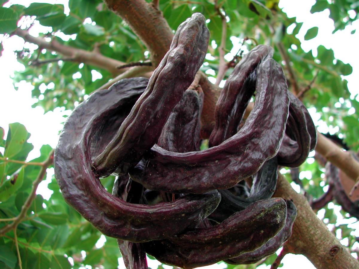 Ripe carob pods on the tree.