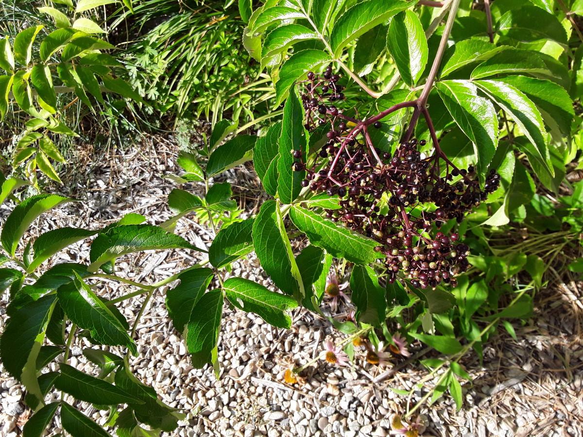 4 Easy Ways to Propagate Elderberry Plants