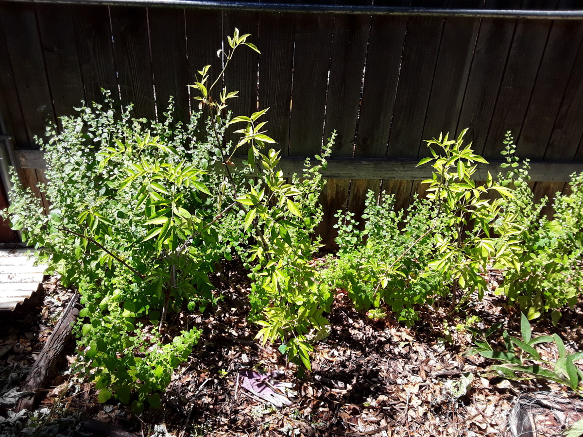 These elderberry plants were all propagated from cuttings several months ago.