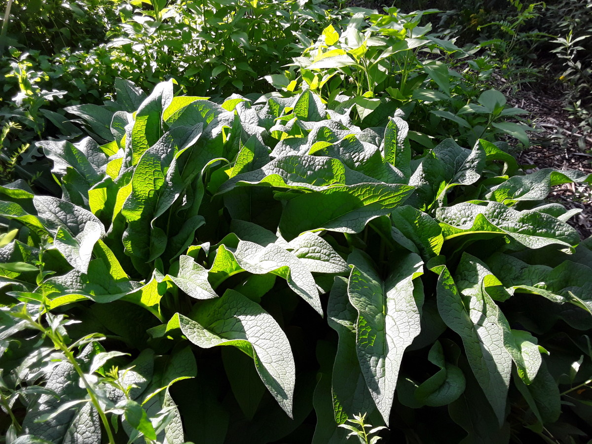 Propagating Comfrey: Easy and Rewarding