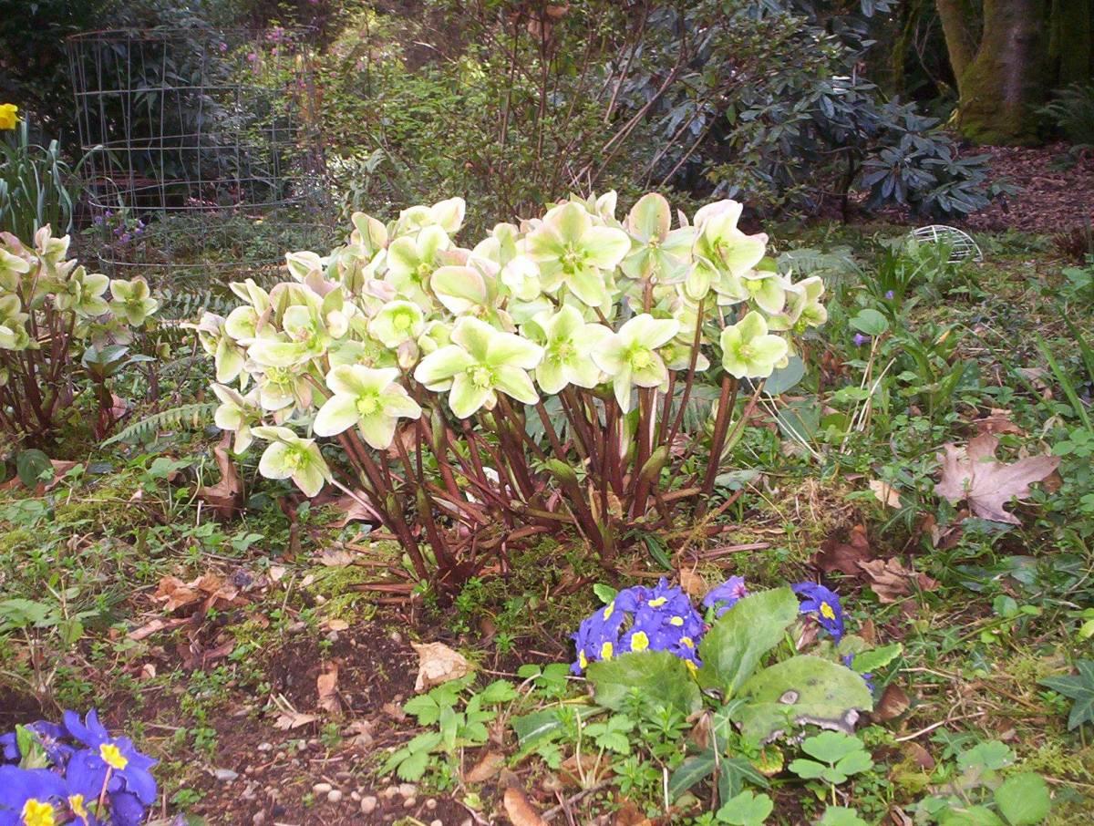 Hellebores and primroses in my woodland garden