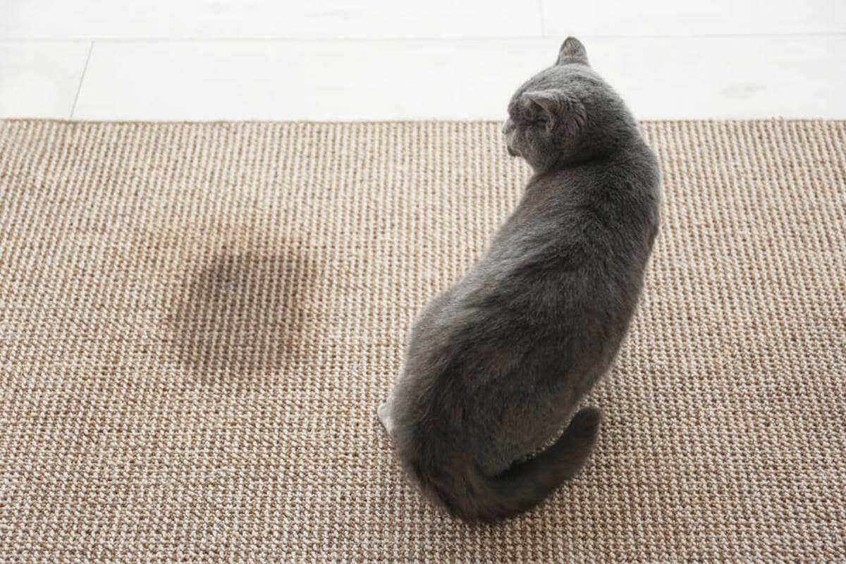 Cat looking to an urine stain on the carpet.
