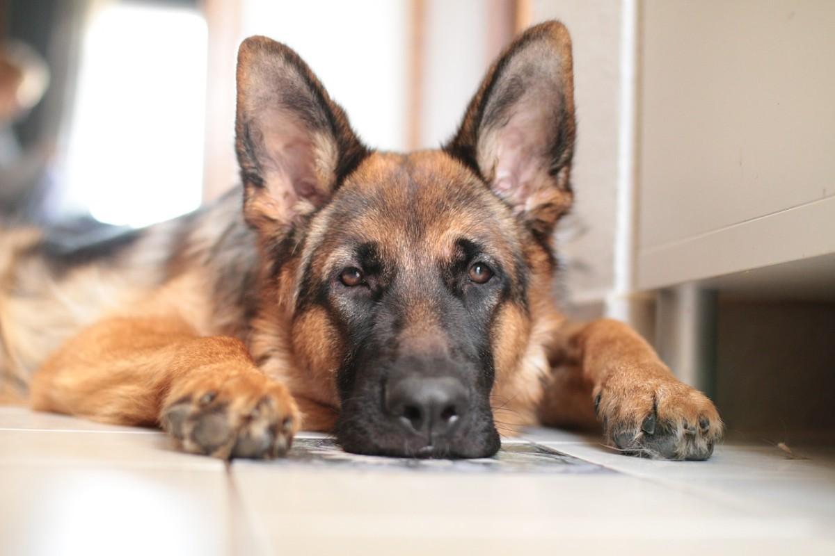 common-german-shepherd-diarrhea-issues