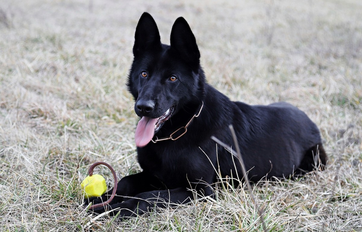 black-german-shepherd-dogs