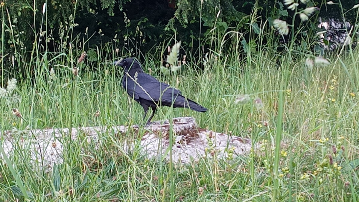 Raven, Viking's help.