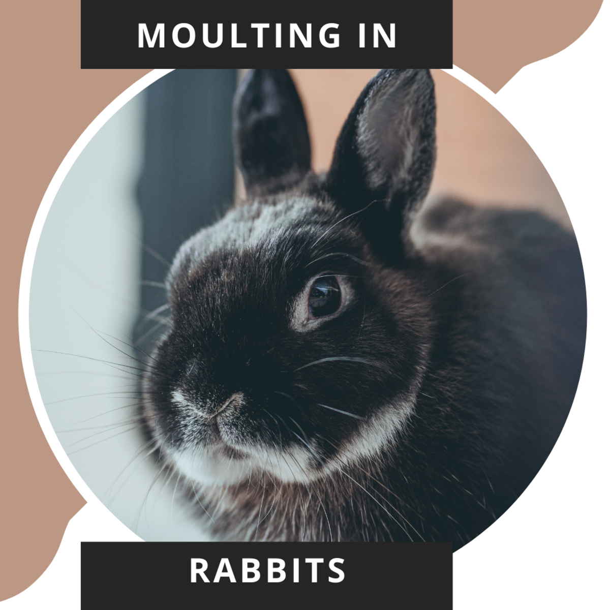 How Moulting in Rabbits Make Them Lose Their Coat