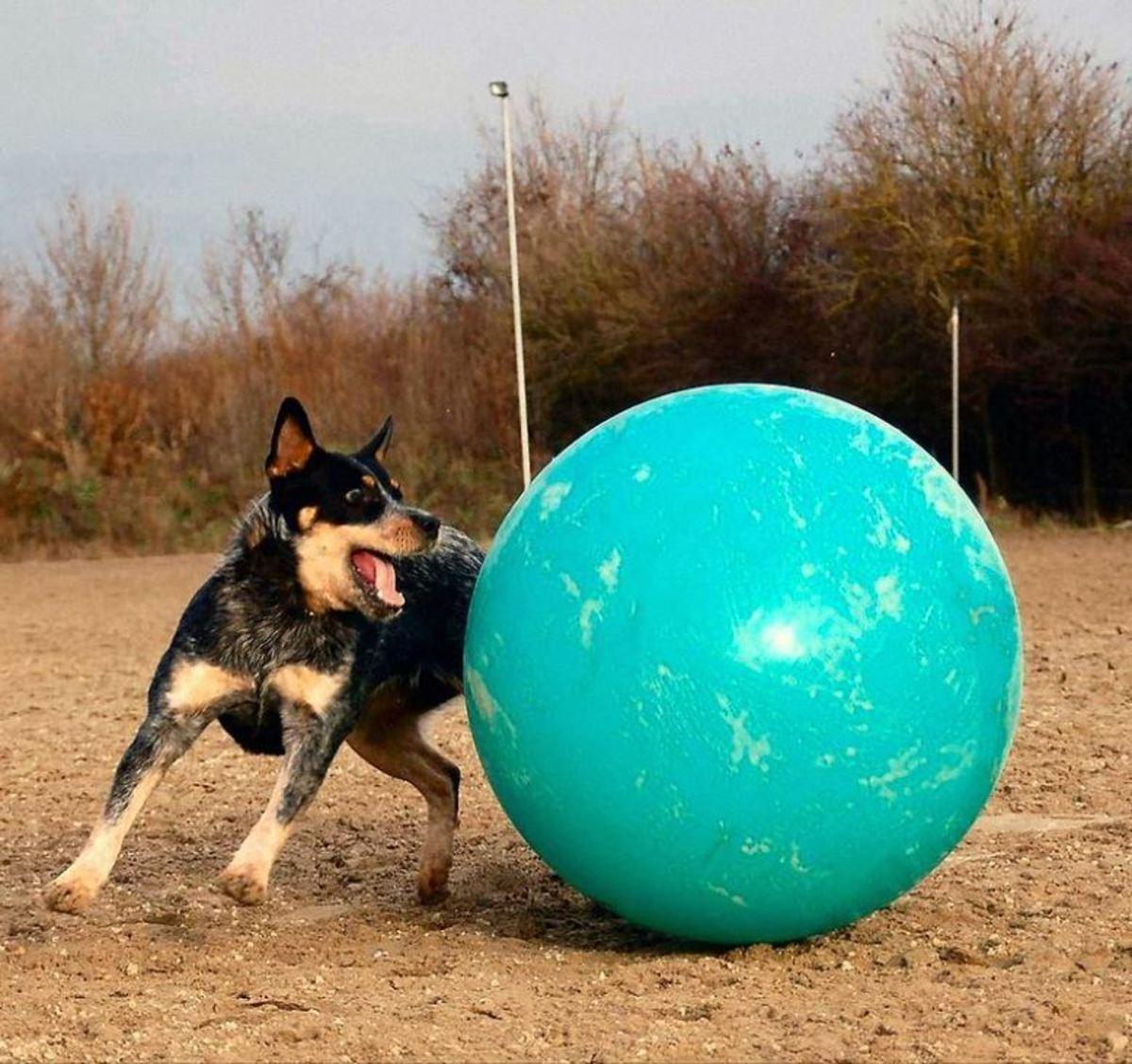 "ACD ""Silverbarn's Mayumi"" playing with a big ball (""herding balls""). CCBY-SA3.0"
