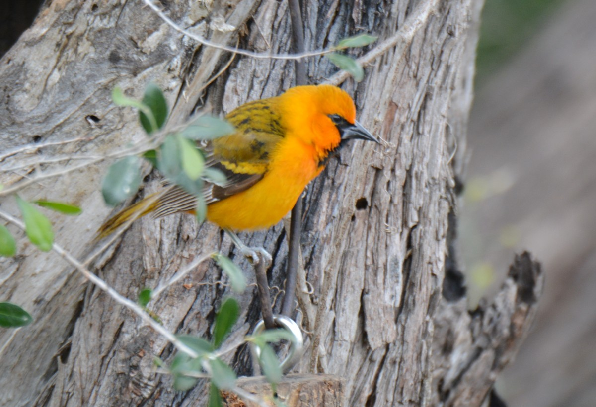 Oriole, Bentsen State Park, Texas