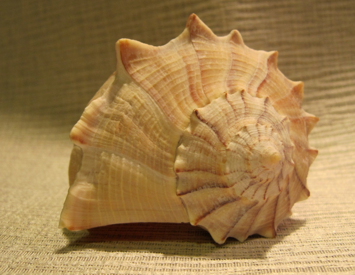 "Lightening Whelk  4-6"" (Busycon contrarium Conrad, 1840)"