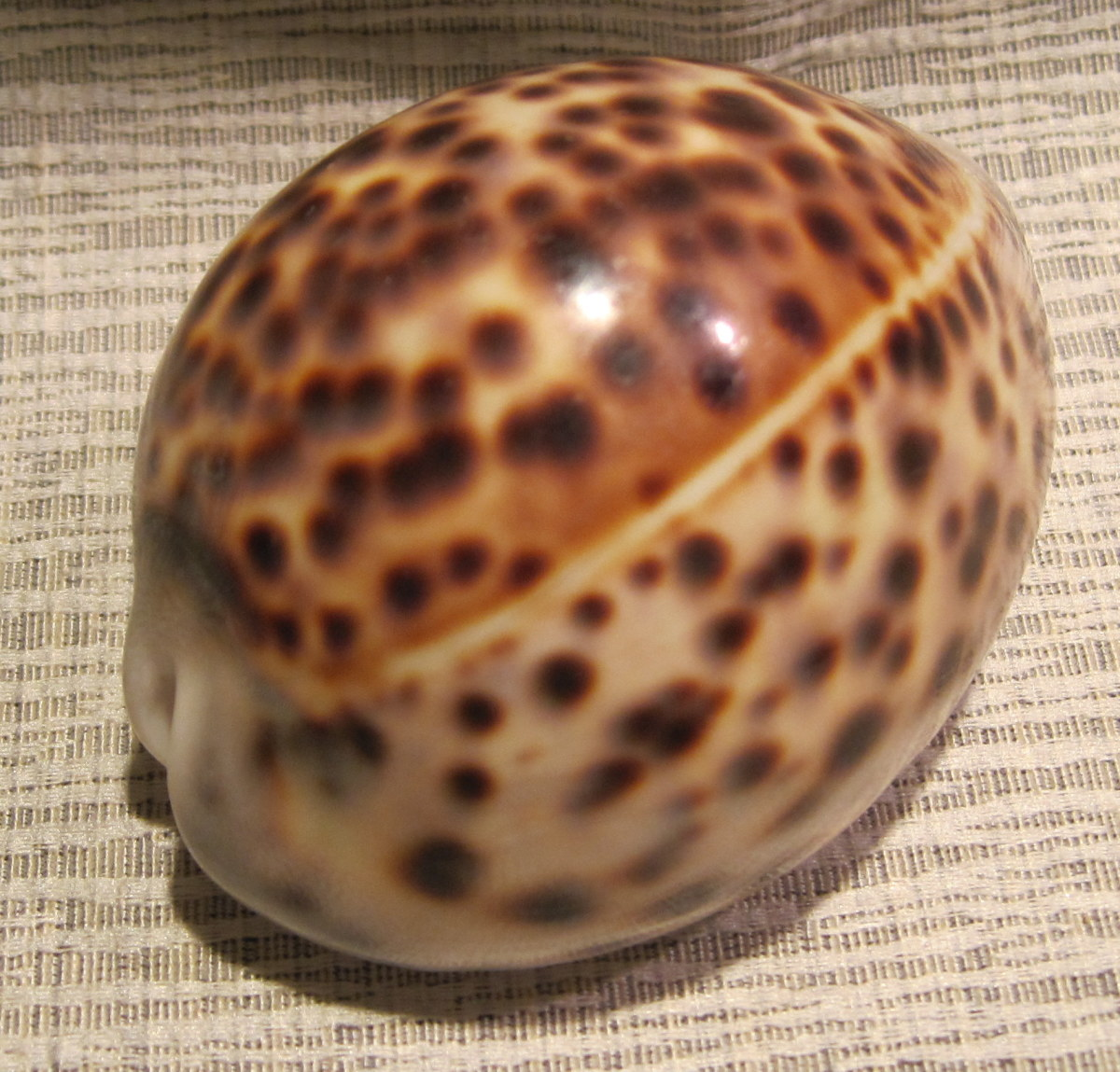 Tiger Cowrie (Cypraea tigris Linne, 1758)