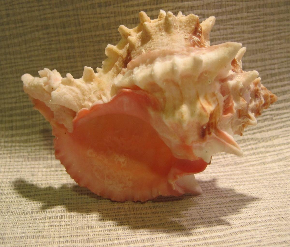 """Pink Mouthed Murex  4"""" (Murex erythrostomus Swainson, 1831)"""