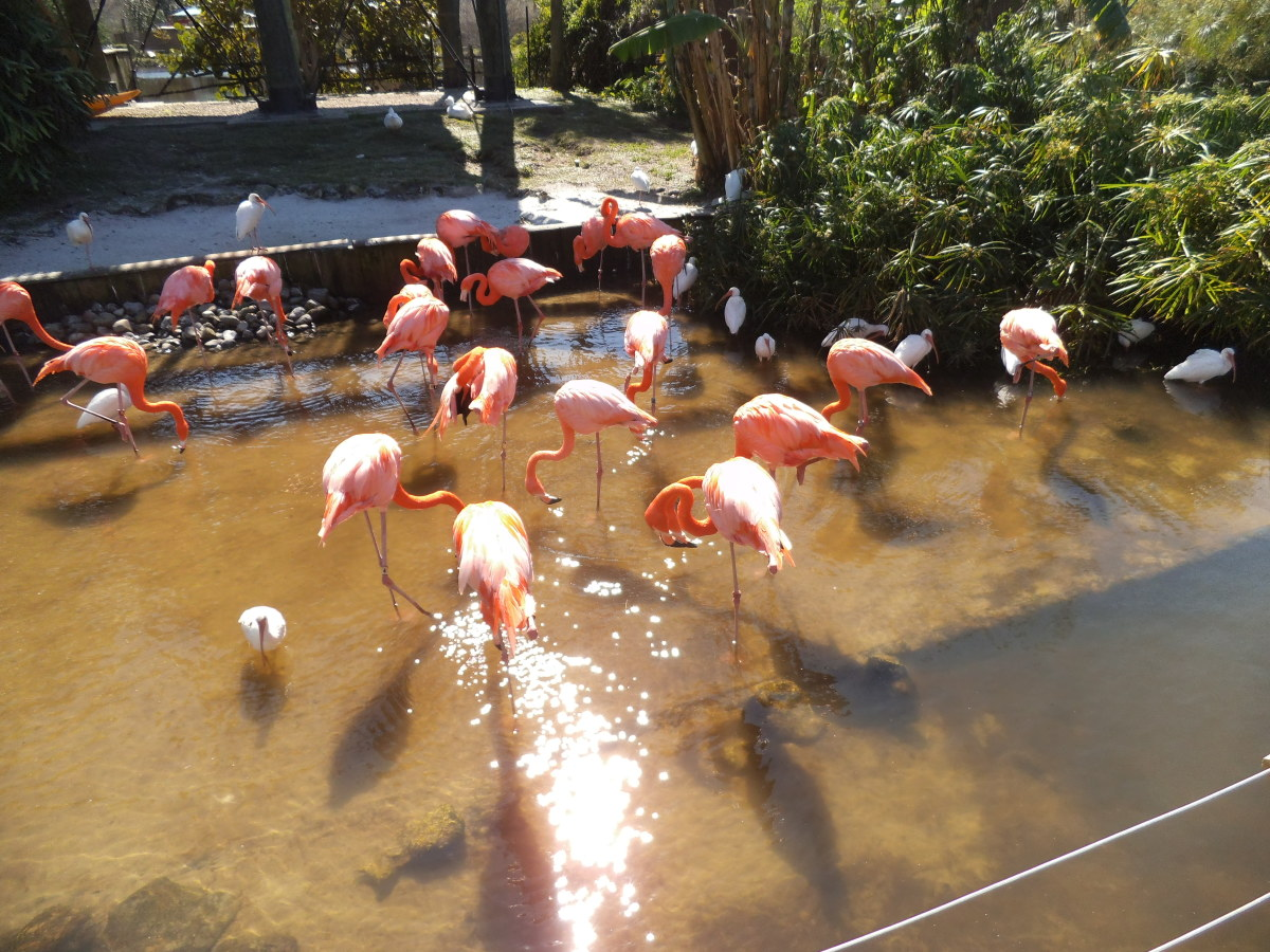I took this picture at Gatorland, since the flamingo is more often seen along the coast, not in Central Florida where I live.