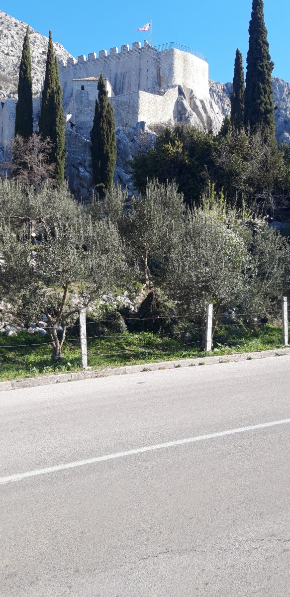 facts-about-olive-trees-and-olive-oil