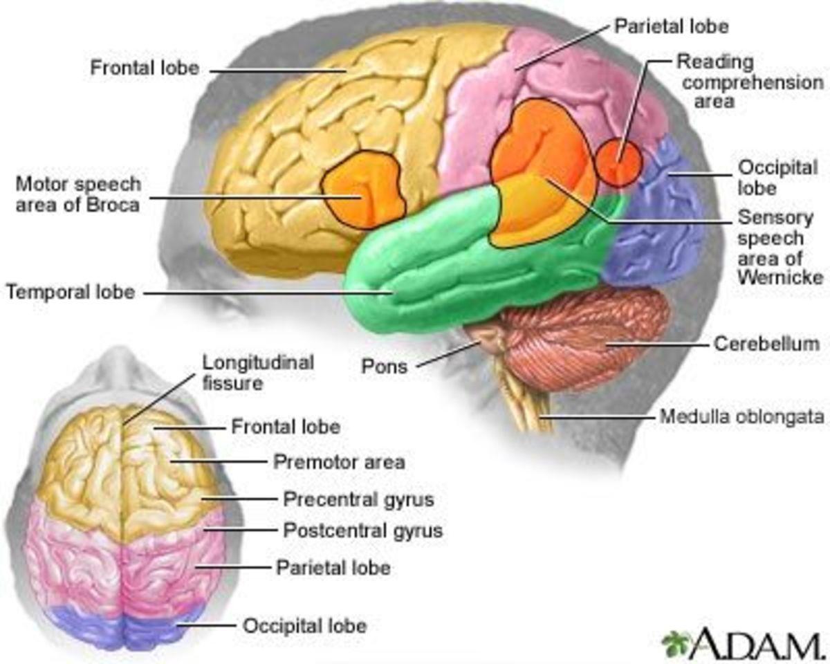 Traumatic Brain Injury - Interactive Brain.