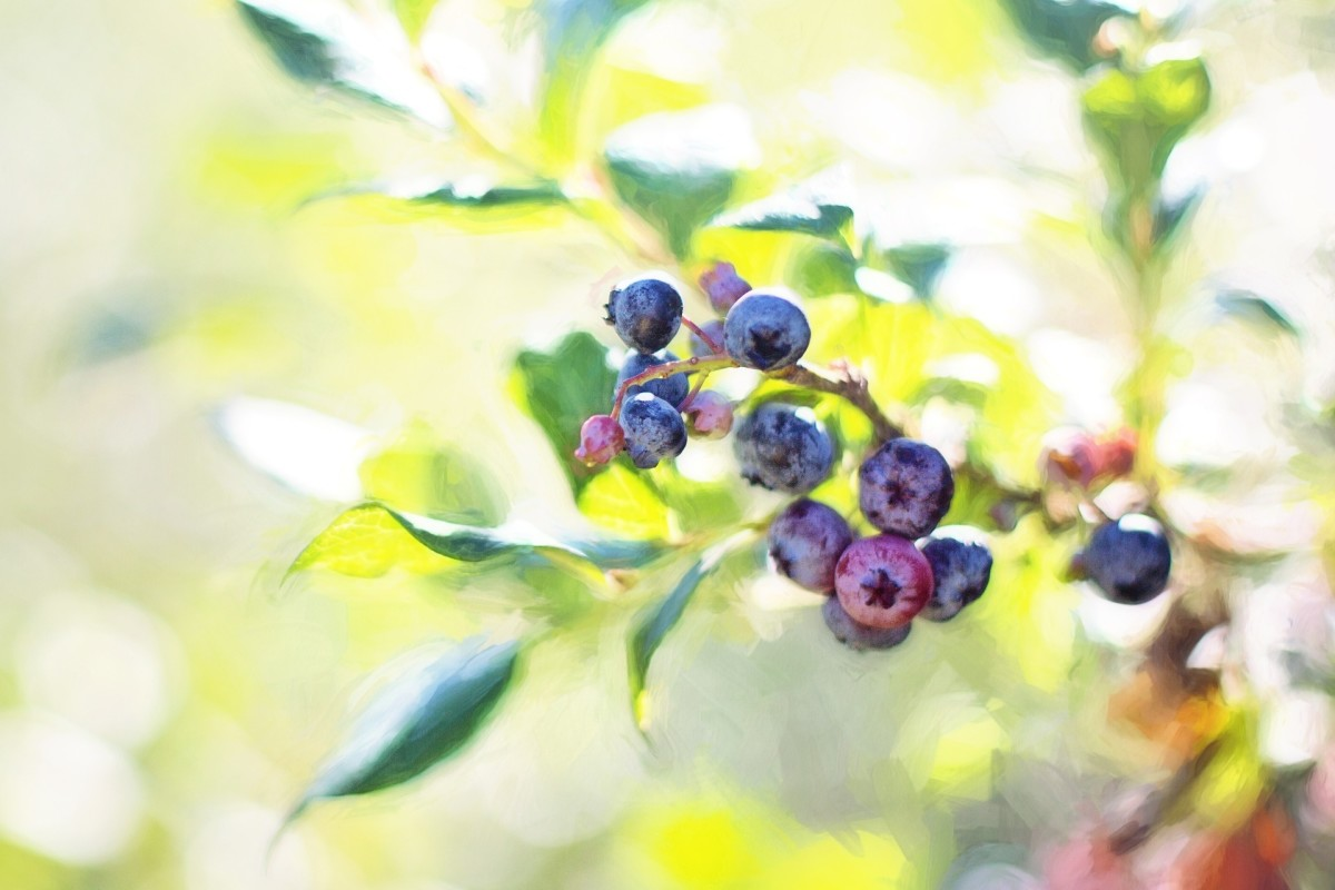 This article will break down how to grow blueberries in the South.