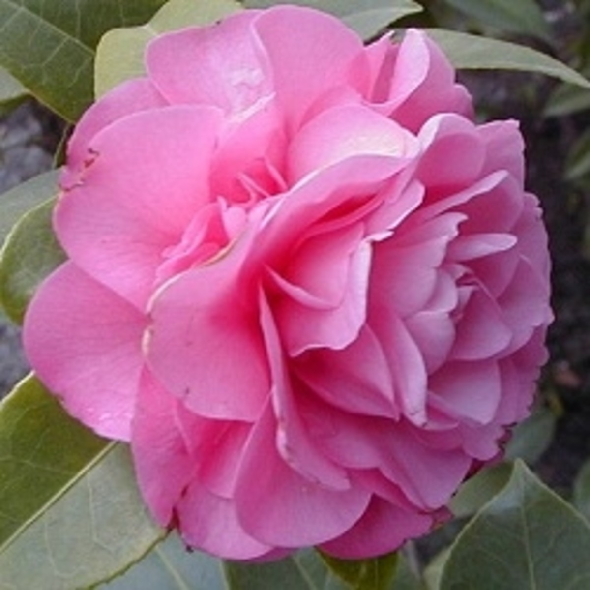 Flowering Shrubs for Shade