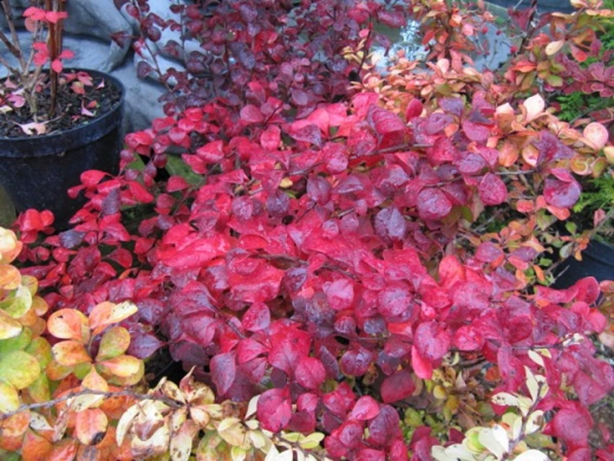 Berberis thunbergii 'Orange Rocket' - orange foliage in summer and bright red in winter