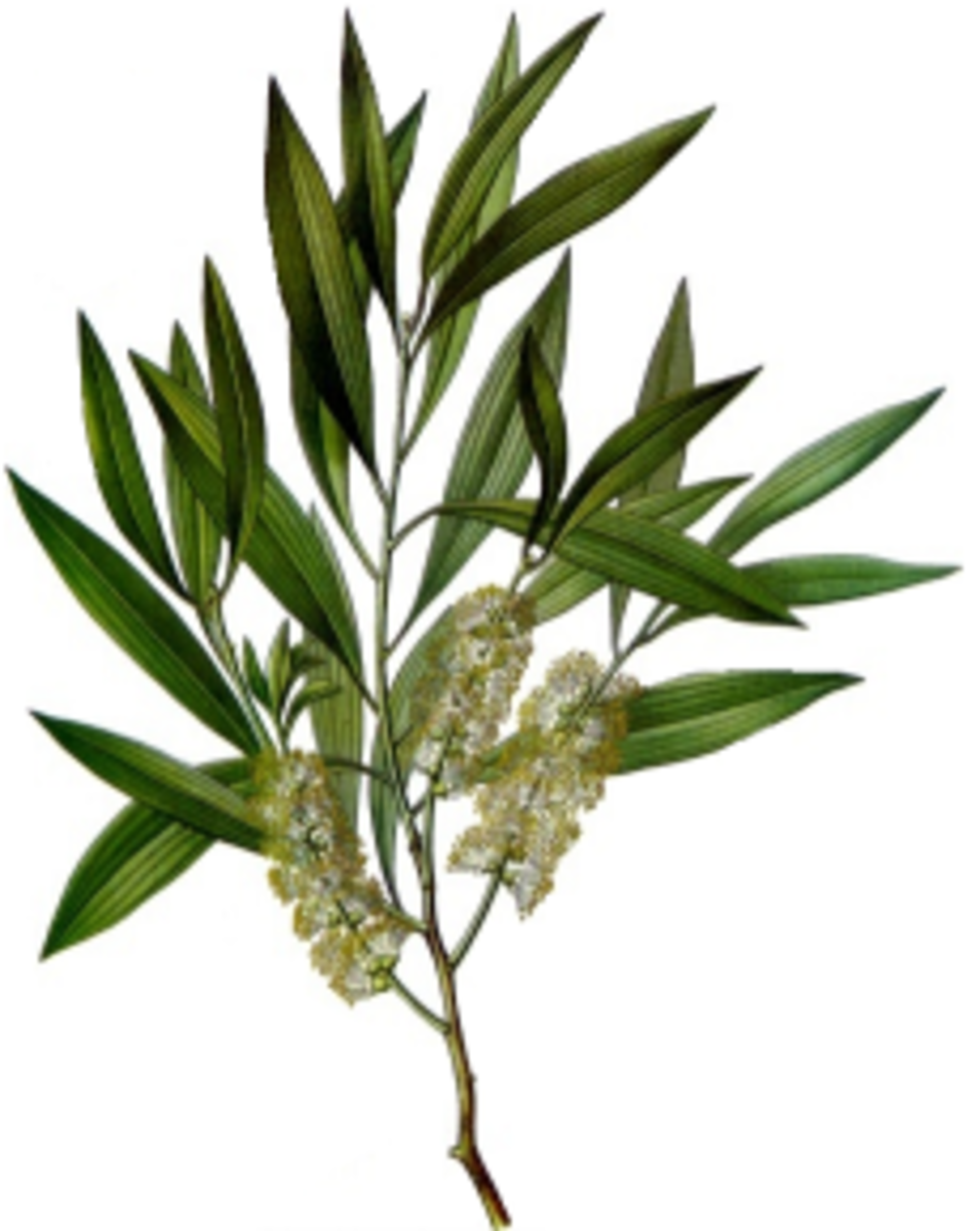Uses and Benefits Of Tea Tree Essential Oils