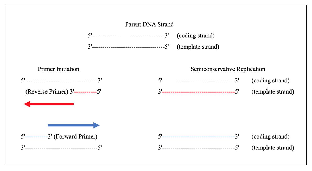designing-pcr-primers-to-amplify-target-genes