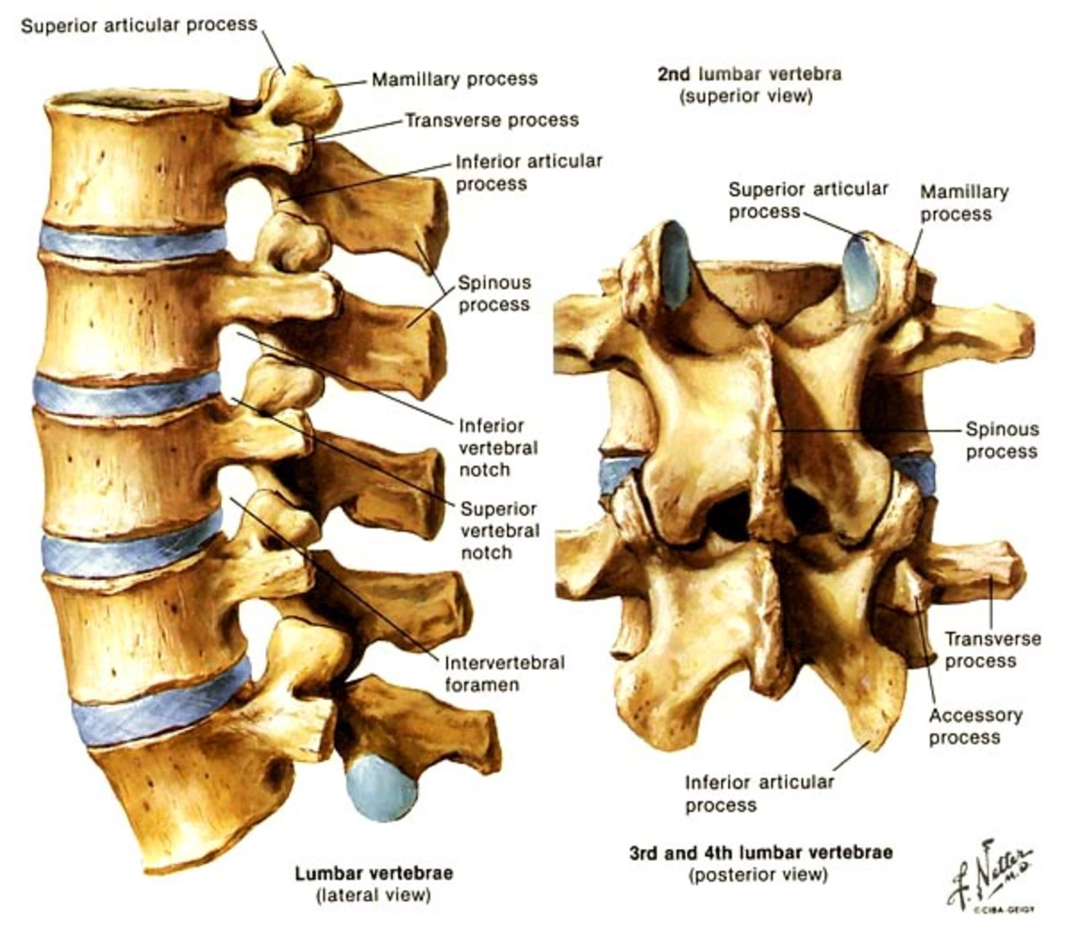 Bones and joints of the lower back (lumbar spine)