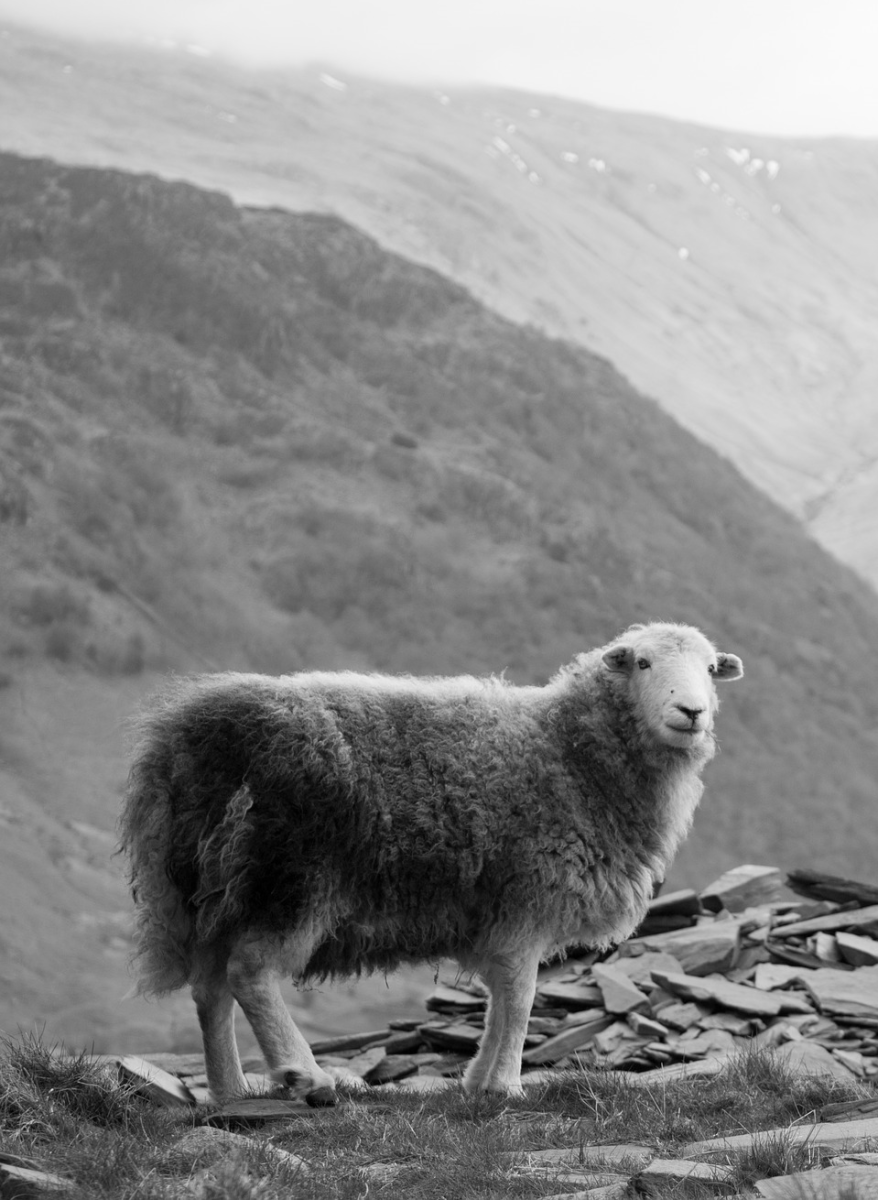 The Herdwick sheep on the fells that inspired Winster's dialect poetry