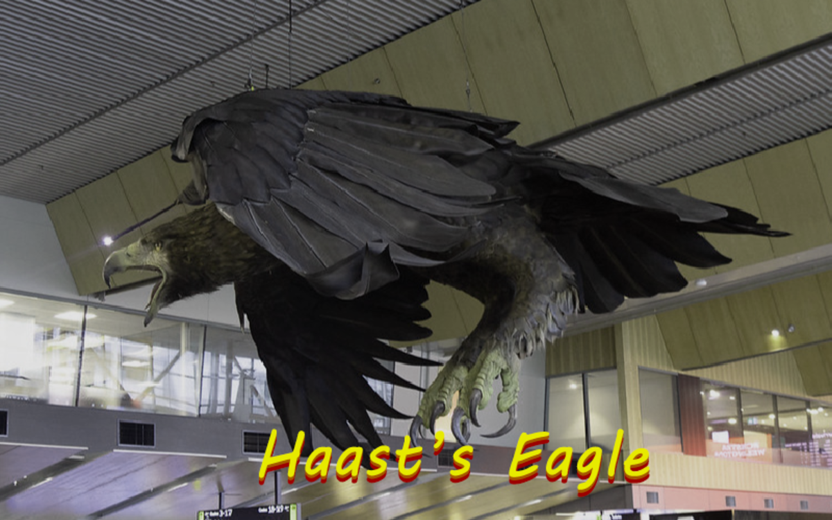 The Haast's eagle became extinct as recently as 600 years ago.