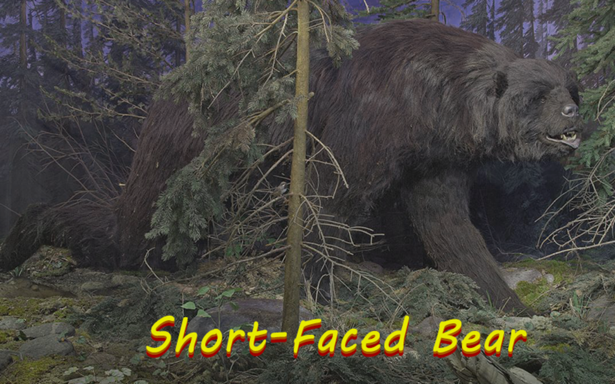 When compared to modern-day bears, the short-faced bear was so large that it can be hard to imagine.