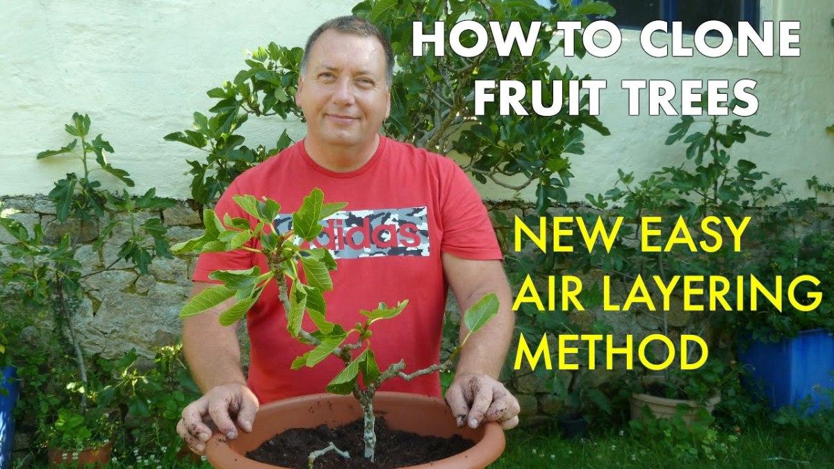 Air Layering Fruit Trees