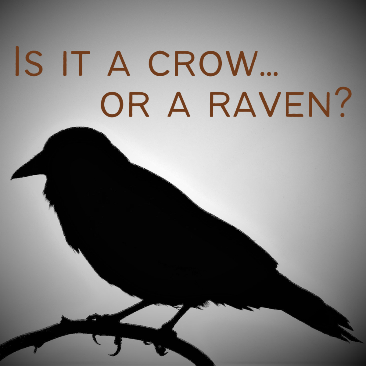 How to tell the difference between crows and ravens.