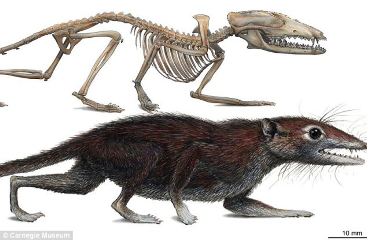 Humans evolved from a small furry mouse-like mammal that lived in trees and bushes 160 million years ago.